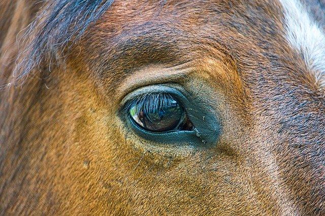 Häst beridet